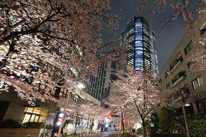 六本木 ヒルズ 桜 ライト アップ