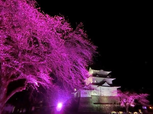 小田原城で春の桜をライトアップ、光に染まる夜桜と天守閣を楽しむ