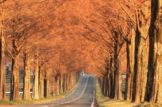 """滋賀マキノの絶景スポット「メタセコイア並木」新・日本街路樹百景、""""いつ来ても美しい""""四季折々の姿 - ファッションプレス"""